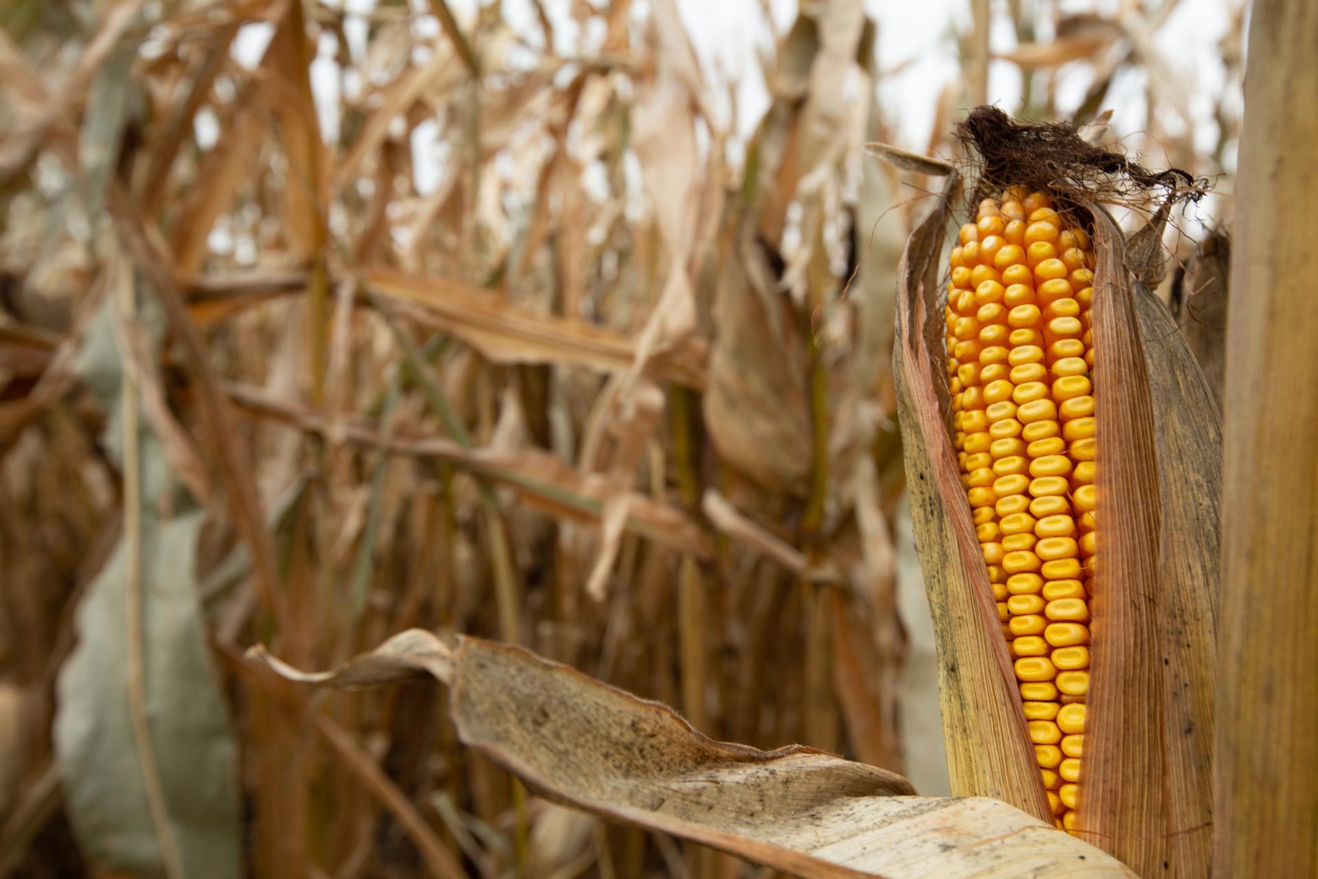 Closeup of corn cob at harvest