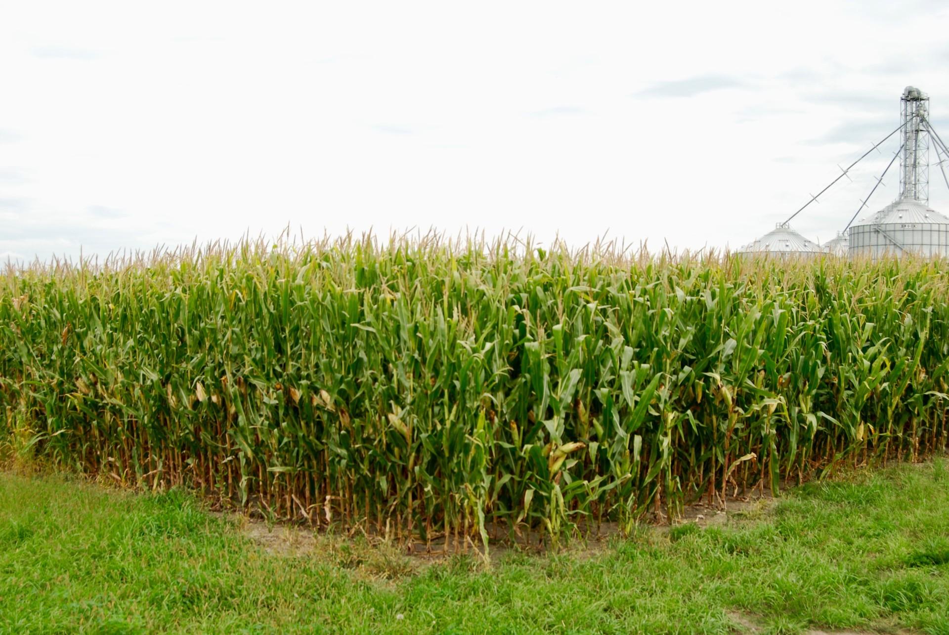 Corn field near harvest time